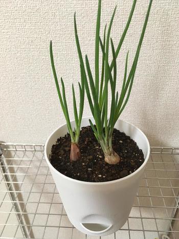 """わけぎは、その独特なニオイを虫が避けるため、病害に強いのが特徴です。そのため、ほかの野菜といっしょに植える""""コンパニオンプランツ""""としてもいいようです。ただ、球根を掘り上げずにそのままにしておくと、虫が付きやすくなります。"""