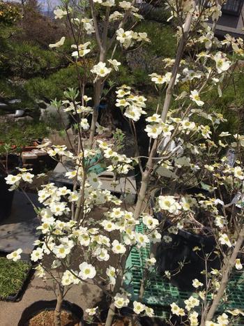 「クラウドナイン」は、白い花を咲かせるハナミズキを代表する種類です。純白の大きな花はさわやかな雰囲気。花付きが良いのも魅力です。