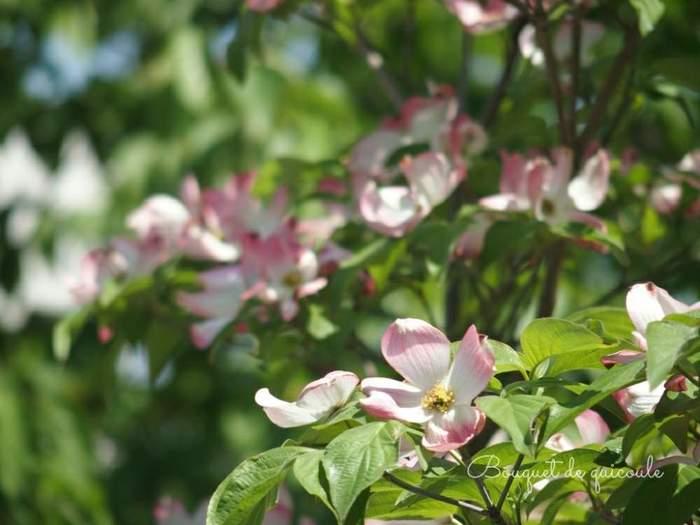 ハナミズキは、日当たりの良い場所を好みます。特に、花を咲かせたいときに日当たりは重要ポイント。とは言え、西日や真夏に1日中直射日光の当たる場所だと株元が乾燥しすぎて弱ってしまうので、避けましょう。また、地面に直接植える地植えの場合には、通気性や水はけのよい場所を選ぶと良いですよ。鉢植えの場合も同じように環境を整えてくださいね。