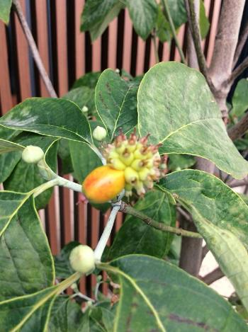 ハナミズキがかかりやすい病気では「うどんこ病」がよく挙げられます。うどんこ病にかかると葉っぱが白く粉を拭いた状態になり、弱って葉っぱが落ちやすくなってしまうのだそう。  ほかにも、根っこにダメージを与える「紋羽病」、灰色のカビが現れる「灰色かび病」、葉っぱに赤褐色の斑紋ができる「とうそう病」、葉っぱに黒褐色の斑点ができる「斑点病」など、かかりやすい病気はさまざまです。  また、コウモリガやアメリカシロヒトリなどの虫の被害を受けることも。これらのダメージが原因で枯れてしまうことがありますので、状態はよくチェックして、その都度適切な対処をしましょう。