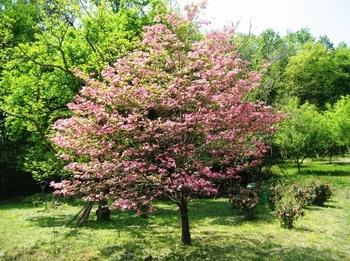 ハナミズキは自然な姿を楽しめる植物なので、庭などの広い場所で育てるときには剪定はあまり必要ありません。ありのままの成長を楽しみましょう。  狭い場所で育てるときや高さが気になるときなどには、適度に剪定して大きさを調節すると良いですよ。
