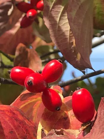 ハナミズキは、秋になると赤い実がなります。とってもおいしそうなのですが、こちら残念ながら食用ではありません。おいしくないだけでなく、果実の汁に含まれる有毒成分が皮膚炎を誘発するおそれがあるともいわれているので、扱うときには注意しましょう。ただ見た目はかわいらしいので観賞用におすすめです♪