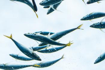イワシ・アジ・サンマ・サバなどの青魚のお刺身は、後出のとおり、解凍後は必ず火を通すメニューにして頂きましょう! ※画像は回遊するアジ。