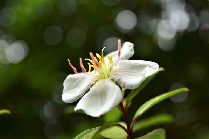 手付かずの自然が豊富な小笠原諸島には、さまざまな動植物があります。白い花びらが美しい「ムニンノボタン」もそのひとつ。島内は立入禁止エリアも多くあるので、ガイドツアーに参加すると普段は入れない場所にも見学できますよ。