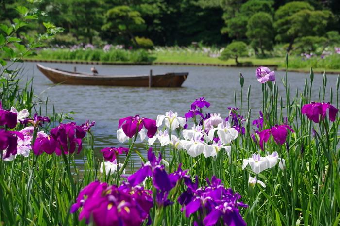 1年中さまざまな花が咲き誇る三渓園。初夏は爽やかな花しょうぶを楽しめます。池のほとりをぐるっと散策すると、とても気持ちが良いですよ。敷地が広いので、人がたくさんいてもそれほど混んでいるように感じないのも魅力。