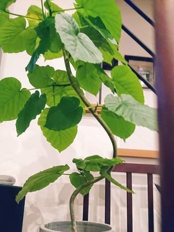 幹や枝を曲げたり倒したりして仕立てた、一点ものの観葉植物が人気です。他にはないユニークな樹形は、シンボルツリーにぴったり。うねうねと曲がったウンベラータやドラセナ、気根を個性的に見せたモンステラやシェフレラなどがあります。