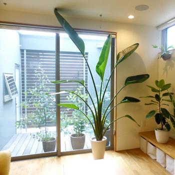 抜群の存在感を放つ大型のグリーンは、自分好みのものを選びたいですね。モダンでおしゃれなお部屋には、大きく深い緑の葉が特徴のオーガスタ。シンプルでスタイリッシュなお部屋には、繊細で明るい緑がさわやかなエバーフレッシュ、というように、インテリアのイメージに合わせて。