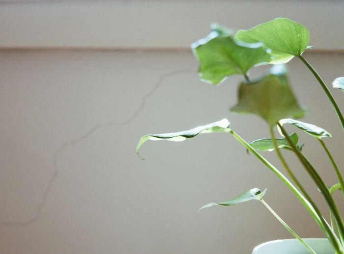 気軽に観葉植物を楽しむなら、テーブルや棚の上などに飾りやすい、小型~中型のグリーンがおすすめ。ひとりで持ち運びできるサイズ感なので、日光浴や水やりに移動させるときも負担になりません。いくつか組み合わせても、ひとつだけでも、個性的な姿を楽しんで。