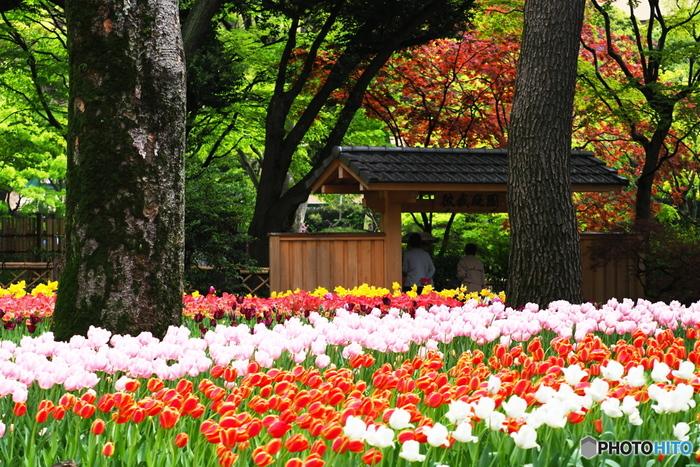 公園内には、約70品種約14万球のチューリップが植えられています。例年4月上旬から下旬に開花、見頃を迎えるとか。さまざまな色、品種のチューリップが、訪れる人たちの目を楽しませてくれます。