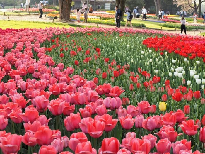 「昭和記念公園」は、東京都立川市にある国営公園。広大な園内にはプールやサイクルセンター、バーベキュー場があり、レジャー施設として人気があります。春から初夏にかけては、菜の花や桜、チューリップにポピーと花の開花リレーを楽しめます。