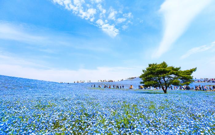 国営ひたち海浜公園は、茨城県ひたちなか市にあり、春はスイセンやチューリップ、初夏にはポピーやバラなど、彩り豊かな花々が四季を通じて楽しめます。一面ブルーのお花のじゅうたんが圧巻の「ネモフィラ」の見ごろは4月下旬だそうです。