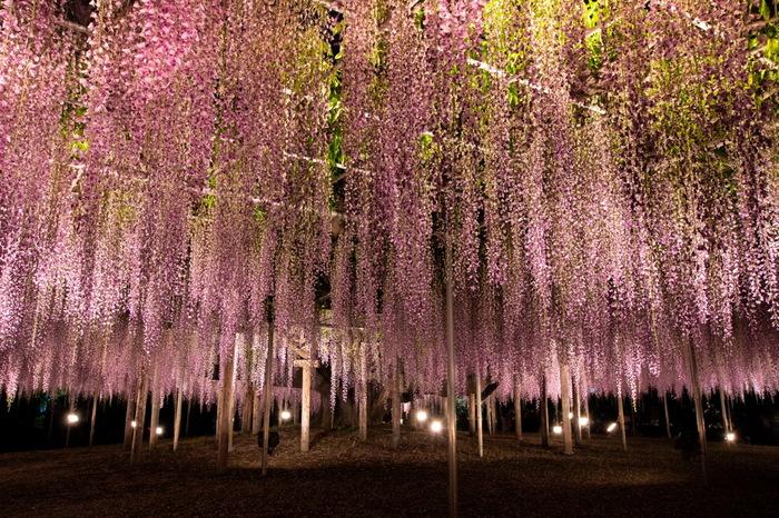 4~5月には、350本以上もの藤の花が咲き乱れます。定番の薄紫色のものに加え、ピンクや白、黄色など変わった色の藤の花を楽しめます。夜にはライトアップもされ、幻想的な雰囲気に。