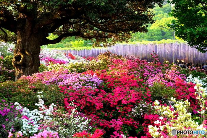 「あしかがフラワーパーク」は、栃木県足利市にあるお花のテーマパーク。2014年にはアメリカCNNテレビにより、世界の夢の旅行先10か所のひとつに選ばれました。