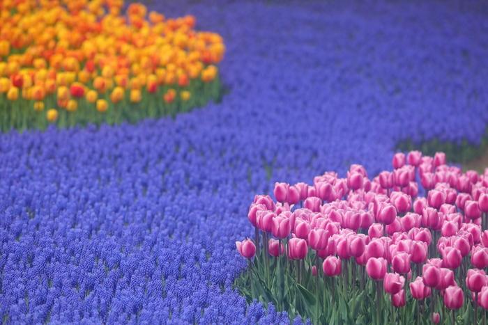 春には185品種23万球のチューリップ、6品種20万球のムスカリが咲き誇ります。ムスカリの鮮やかなブルーにチューリップがよく映え、ハッとするような美しさですね。