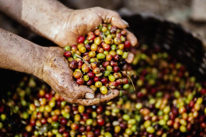 コーヒー豆はこのコーヒーチェリーの種の部分のこと。