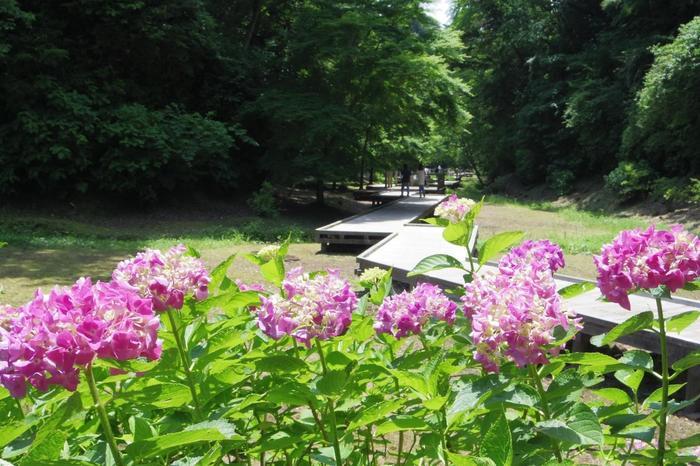 豊かな自然が広がる清水渓流広場。6月中旬~7月上旬の木道の紫陽花が有名です。