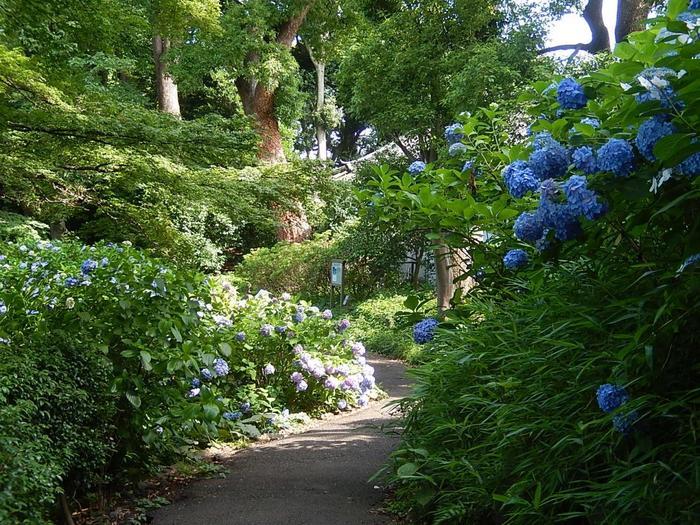 """大番所をすぎると、旧江戸城・本丸の大芝生の西側には、花も緑も楽しめる遊歩道が天守台へ向かって伸びています。遊歩道の各所には、テーマに従って、野草や果樹、茶やバラ、桜や竹林など植えられています。大芝生で寝転ぶのも良いですが、植物好き、散策好きならぜひ歩いてみましょう。  【6月下旬の「富士見多聞」付近の遊歩道。この辺りは、苑内の紫陽花の名所となっている。""""多聞""""とは、長屋造りの防御施設で、かつて城内には数々の多聞があったが、現在あるのは、この「富士見多聞」と「伏見櫓」の左右にある多聞のみ。】"""