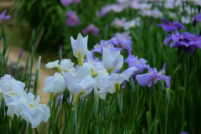 ハナショウブやアジサイが見頃の梅雨の頃も素晴らしく、しっとりとした景色、風情が味わえます。 【6月下旬の「二の丸庭園」の菖蒲田に咲く『ハナショウブ』。】