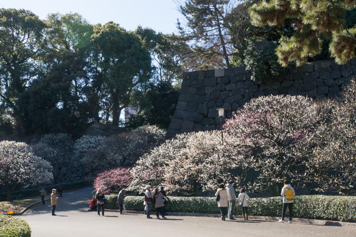 """本丸から、二の丸へ向かうルートは通常「汐見坂」を下りますが、早春の頃に訪れるのなら、紅白の梅が植えられている「梅林坂」を歩いてみましょう。例年12月下旬頃から早咲きの品種が咲き始め、2月中旬頃が見頃となります。  一方の「汐見坂」は、本丸から白鳥濠を右手にしながら二の丸へと向かう坂道で、家康が築城した頃は、海岸線が近くにあり、ここから海が臨めたため、""""汐見""""と名が付いています。【2月初旬の「梅林坂」】"""