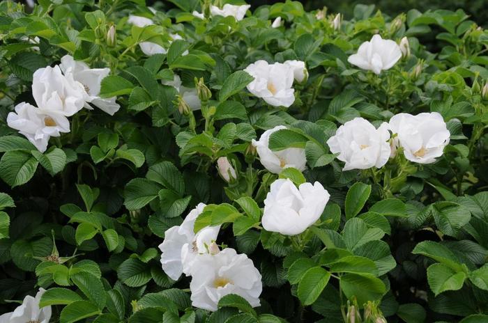 『イザヨイバラ』や『カノコ』、『ハマナス』や「サクラバラ』等など多種類のバラが植えられていますが、大半のバラは、昭和天皇が吹上御所でお育てになられたものを移植したものです。  【バラの開花時期は、概ね5月からだが、見頃は種類によって異なる。『ハマナス』は5月上旬から下旬だが、『コウシンバラ』は、5月中旬から開花し、12月中旬まで花をつけている。画像は、5月中旬の「バラ園」に咲く『シロハマナス』】