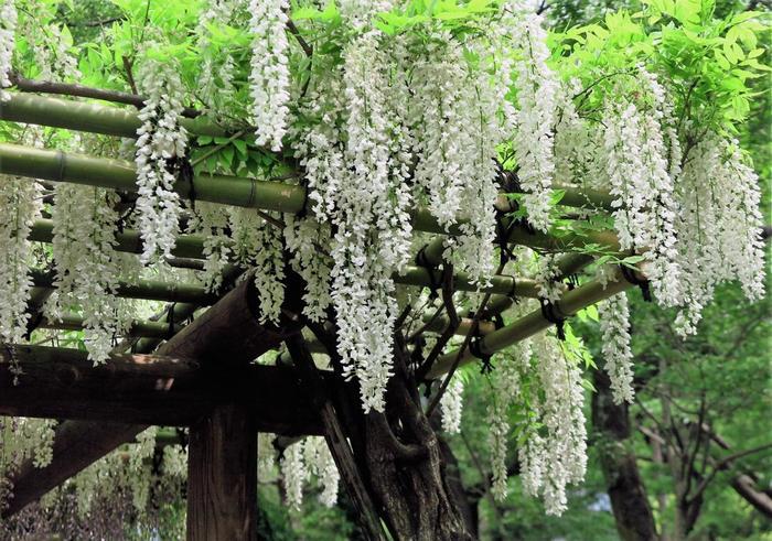 この季節は、陽の光も緑も水も、輝きを増していく頃です。 真夏や初秋の酷暑さでもなく、散策するのにも丁度良い季節です。【5月初旬の「二の丸庭園」の藤棚】