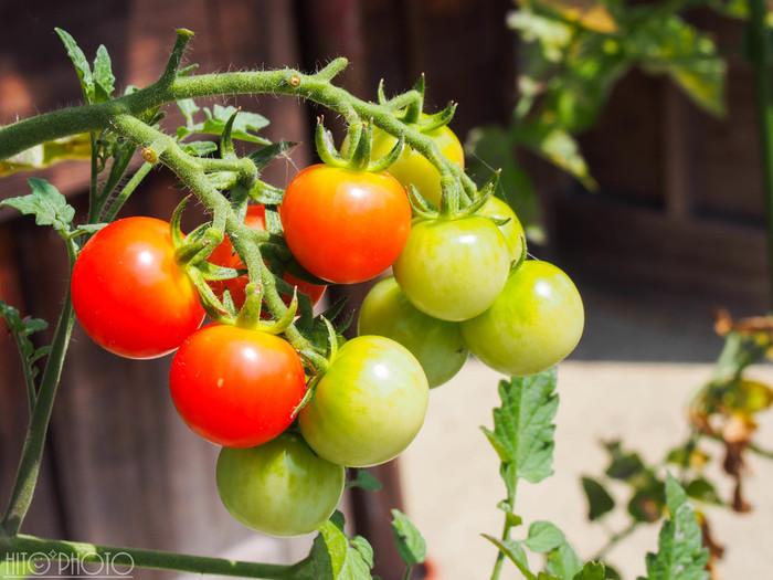 意外な所では「ミニトマト」も日除けになります。脇芽がどんどん出るので摘心しますが、2本仕立てにして上手くネットに誘引すると枝が伸びるので、日除けになるほど茂ります。大きいコンテナ+追肥をすれば、秋になっても実がなります。