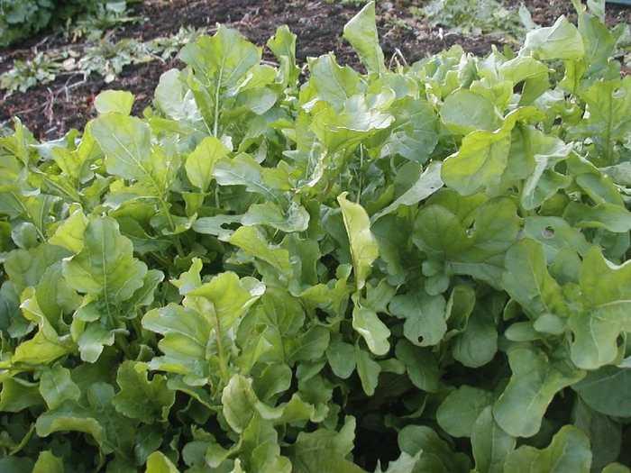 サラダだけでなく、おひたしなどにしても美味しい「ルッコラ」も、発芽率が高くほぼ一年中栽培可能です。種を購入したら、複数のプランターを使ってタイミングをずらしながら蒔くと、いつでもルッコラが食べられますよ。レタスと同じように広めのコンテナにパラパラと蒔いて水やりをします。