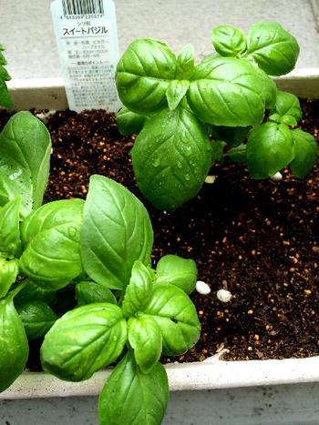 トマトとの相性が抜群の「バジル」も、育てやすく便利です。カプレーゼやジェノベーゼにする他、天ぷらなどにしてもおいしいハーブです。種を蒔いて水やりし、混み合った所は間引いて育ったら葉を摘んで使います。