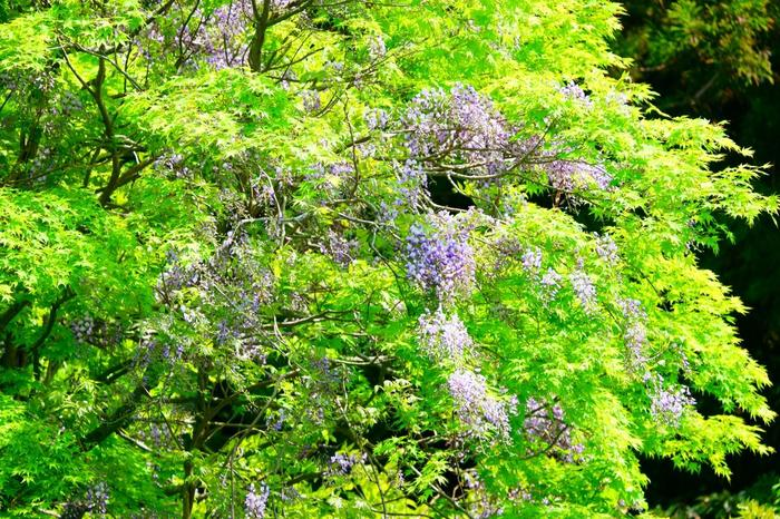 新緑が美しい季節には、藤の花もちょうど見頃。藤の香りを感じながら、白糸の滝を目指しましょう♪