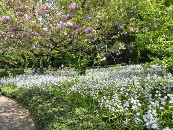 一年を通して「皇居東御苑」が賑わうのは、3月~4月の桜の季節です。  京都御所同様に、ここ「皇居東御苑」も、ソメイヨシノの他、枝垂れ桜や里桜、八重桜等など、約30品種もの多様な桜が植えられ、春の頃は、雪柳や山吹といった春の花々も共に咲き乱れるため、春の季節を満喫しに多くの人々が足を運びます。  【苑内には、早咲きの『寒緋桜』から遅咲きの『関山』や『普賢象』等、様々な桜が植えられているため、桜の開花時期は長い。画像は、4月中旬の里桜の一種『関山』と『シャガ』が満開の「二の丸庭園」。共に見頃は、4月中旬から下旬。】