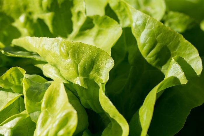 コンテナ栽培でおすすめなのは、栽培期間が短い「葉物野菜」や「ハーブ」です。また、野菜は植え付けの適期がありますが、サラダに使用するタイプの葉物はあまり種蒔きの時期を選ばないので、思い立った時に育てられるのも魅力。種の袋の裏に種蒔き可能なタイミングが記載されているので、チェックしてみましよう。