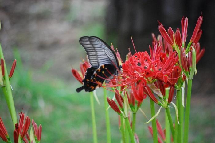 秋から冬、冬から春の季節も、皇居ならではの情景を楽しむことが出来ます。 【初秋の苑内に咲く『ヒガンバナ』と『クロアゲハチョウ』(9月末撮影)】