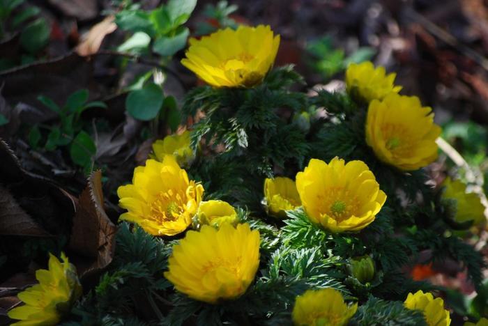 キンモクセイやススキ、ツバキやスイセン、ロウバイやウメなどの季節の花々が、深緑や紅葉、冬木立を背景にして、季節を繋ぐように、次々と咲き継いでいきます。【早春の苑内に咲く『フクジュソウ』】
