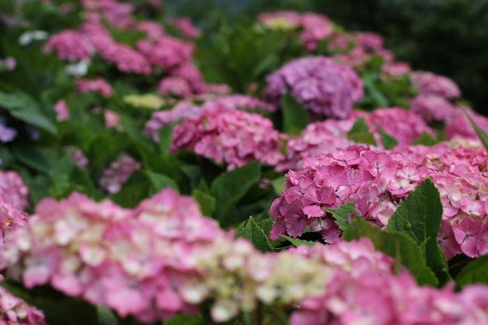「瓜割の滝」がある若狭瓜割名水公園内には約1万株の紫陽花が植えられ、毎年6月上旬~7月上旬まで白や青、ピンク、紫など色とりどりの紫陽花が咲き誇り、訪れた人たちを楽しませてくれます。