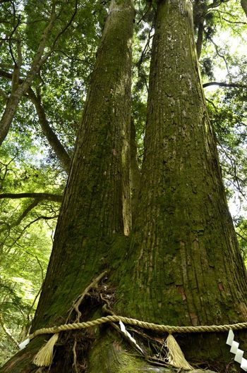 結社から奥宮に行く途中には、樹齢1000年ともいわれている、同じ根から生えた2本の杉の大木があり、そのぴったり寄り添っている姿が、仲睦まじい老夫婦の姿のようだと、相生(相老)の杉と呼ばれています。