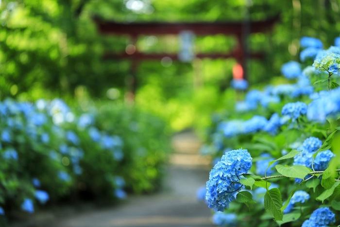 紫陽花だけをアップで写すのも綺麗ですが、せっかくのお出かけ、その場所にしかない物や景色も一緒に写真に収めてみましょう。こちらの写真では、鳥居の朱色が青い紫陽花の中でアクセントになっていますね。