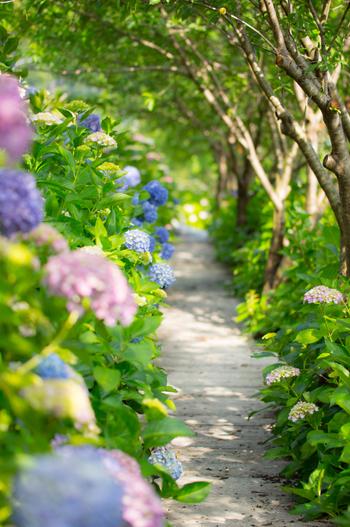 紫陽花がずらっと並んでいる場所では、道や周囲の環境を写すと、紫陽花の数も引き立ち印象的な写真になります。その場所ならではの写真は、後で見返した時に思い出にもなりますよ*