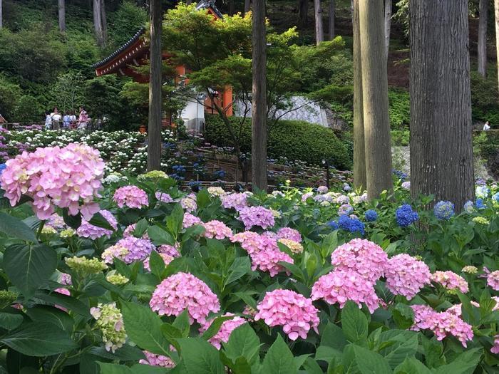 「紫陽花」は約50種、1万株が杉木立の間に咲き乱れ、西洋あじさいや額あじさい・柏葉あじさい・幻のあじさいと言われる七段花に至るまで多くの種類を目にすることができます。 また6月上旬~中旬過ぎ頃の土日には、ライトアップもしているそうで、お昼間とは少しちがった趣のある雰囲気を楽しむことができます。