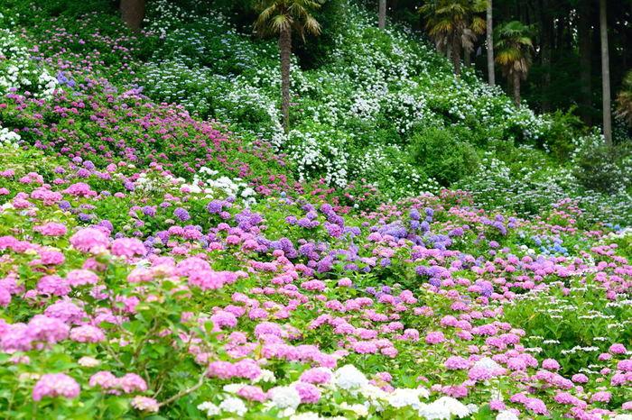 その紫陽花の美しさと数は圧倒的。時間を忘れて写真を撮るのに夢中になってしまいそうです。紫陽花が好きな方には一度は行ってもらいたい場所です。