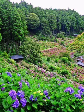 JR茂原駅から車で10分ほどの所にある服部農園あじさい屋敷は、広大な敷地の中に約300種類、1万株以上もの紫陽花が咲き誇る紫陽花を一望できるスポットです。