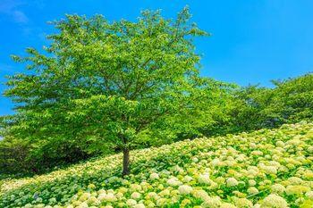 こちらは3,000株のアナベルのエリア。中央の木を中心に、一面咲くアナベルの美しく幻想的な景色を楽しむことができます。