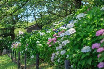 埼玉県幸手市にある権現堂公園には、100種類16,000株の紫陽花が植えられています。桜の名所としても有名ですが、紫陽花、曼珠沙華(ヒガンバナ)など季節の花をゆったり楽しむ事ができる場所です。