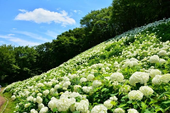 東京サマーランドは、東京都あきる野市にある人気の遊園地。約60品種、約15,000株の紫陽花を楽しむことができます。一番の見所は、「アナベルの雪山」!斜面一面がアナベルの白色で覆われた景色は圧巻です。