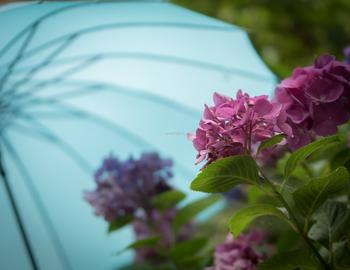 紫陽花は梅雨の季節に咲く花。この時期ならではのアイテムと一緒に写してみましょう。背景に傘を写しこめば、しっとりとした紫陽花の様子が伝わってきます。