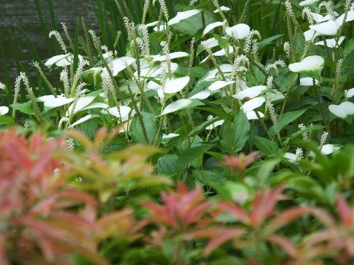 ゆっくりと眺めたあとは、お庭に下りて庭園を一周してみて下さい。四季折々の花々や樹々が多く立ち並び、より一層風情を感じることができます。 その中でも半夏生がとても綺麗。梅雨時期になると、まるで舞妓さんみたいに葉が白くお化粧をしたように変化します。爽やかなその見た目は、夏がそこまで来ていること知らせてくれているようです。
