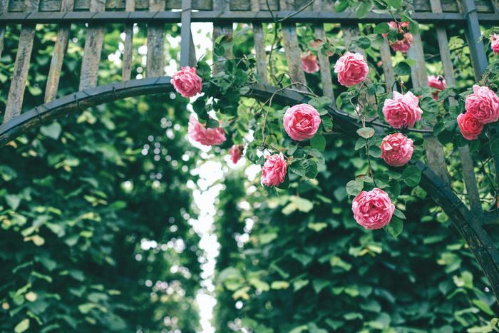 この頃になると、カーネーションやフジの花、バラの花などが咲き始めます。特にバラは香りが良く、バラ園を訪れることを楽しみにしている方も多いのではないでしょうか。