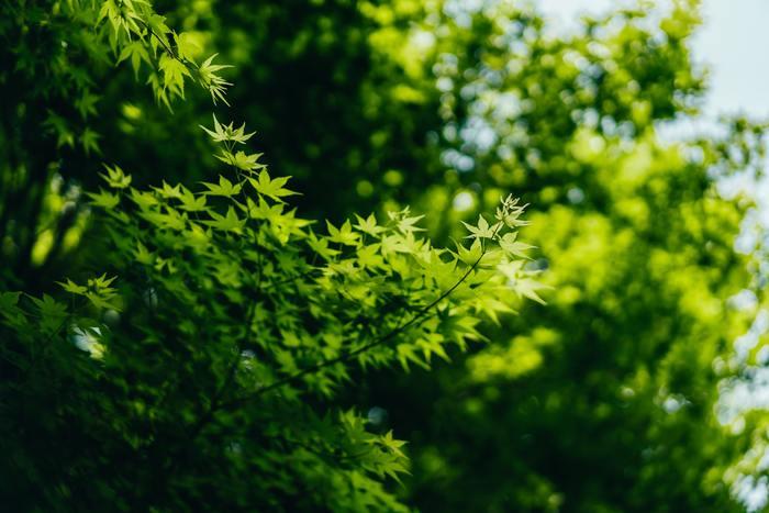 一方、カラフルな花とは対照的ながら、緑色の若い楓「青もみじ」や瑞々しい竹林も、初夏にしか楽しめない景色です。初夏の季語として「若葉」や「青葉」が使われますが、そこから連想されるイメージとぴったりですね。