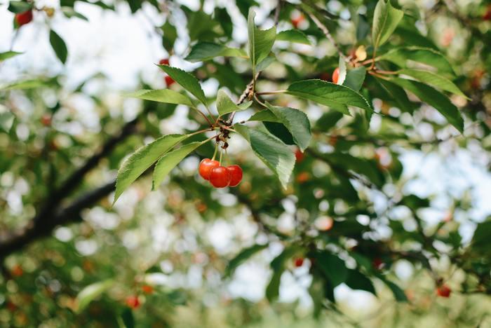 梅と同じ頃から、品種による違いはあるもののさくらんぼも時期を迎えます。買って食べるのも美味しいけれど、木から自分でとって食べるのもまた格別の美味しさです。
