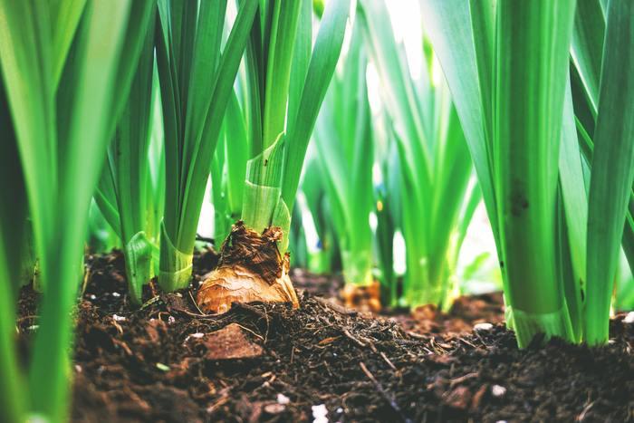 バナナの皮が肥料になるというのは驚きですよね…。用意するのは、バナナの皮、未精製の塩、卵の殻、水、この4つ。 作り方は、バナナの皮をしっかりと乾燥させ、洗っておいた卵の殻とともに粉末状にします。粉末にした粉と塩を水に溶かせば「栄養豊富なバナナの皮液肥」の完成です!これを、野菜など植物にかからないように土にまきます。ちょっとひと手間ありますが、お金もかけずに、捨てるはずだったバナナが大活躍!環境にも優しいので、是非、チャレンジしてみてはいかがでしょうか!