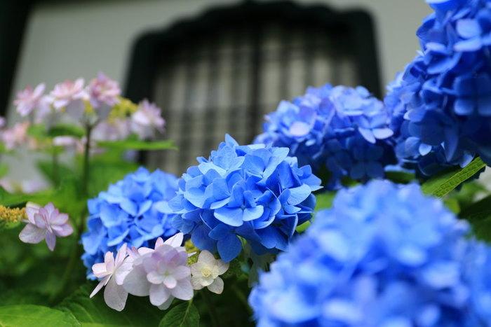 鎌倉の紫陽花の代名詞でもある「長谷寺」は別名「花の寺」としても有名です。鎌倉駅から由比ヶ浜通りを歩いても、江ノ電に揺られて長谷駅で下車して向かうこともできます。長谷寺はお花にあふれたお寺としても有名で毎年観光客が絶えないとても人気があるお寺です。